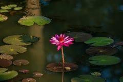 Lotus-bloemen in de tempel van Banteay Srei in Angkor, Kambodja royalty-vrije stock foto's