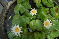 Lotus-bloemen in de tuin stock foto's