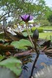 Lotus-bloemen in de tuin stock afbeelding