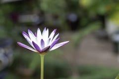 Lotus-bloemen donkere purple in pond stock foto