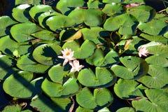 Lotus-bloemen in drijvende tuinen Het dorp van Maingsthauk Inlemeer myanmar stock fotografie