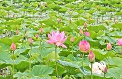 Lotus-bloemen in een vijver Stock Afbeelding