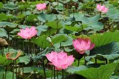 Lotus-bloemen en Lotus seedpods Royalty-vrije Stock Foto's