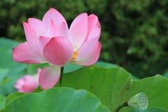 Lotus-bloemen en seedpod Royalty-vrije Stock Fotografie