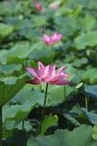 Lotus-bloemen en seedpod Stock Foto