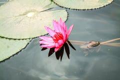 Lotus-bloemen in Hanoi, Vietnam Stock Foto's