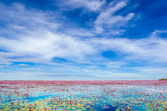 Lotus-bloemen op het meer van Buadaeng Nong Han in Thailand Royalty-vrije Stock Foto's