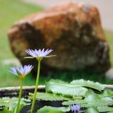 Lotus-bloemen op openbare parken Stock Foto's