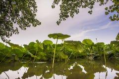 Lotus-bloemen op rivier Stock Afbeeldingen