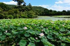 Lotus-bloemen op vijver, Kyoto Japan stock foto's