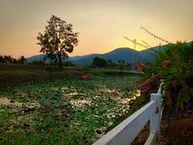 Lotus-bloemen in Thailand stock foto's