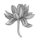 Lotus-bloemillustratie Stock Fotografie