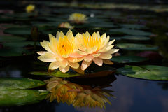 Lotus-bloeminstallaties stock afbeeldingen