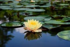 Lotus-bloeminstallaties stock foto