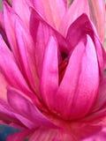Lotus-bloemminnaar Royalty-vrije Stock Fotografie