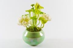 Lotus in bloempot Stock Fotografie