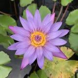 Lotus-bloempurple royalty-vrije stock afbeelding