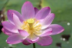 Lotus in bloesem Stock Foto