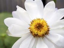 Lotus-bloesem Royalty-vrije Stock Afbeelding
