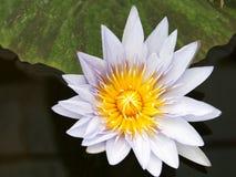 Lotus-bloesem Royalty-vrije Stock Afbeeldingen