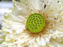 Lotus-bloesem Stock Foto's