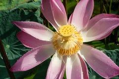 Lotus-bloesem met Regendalingen Royalty-vrije Stock Afbeelding
