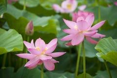 Lotus-bloesems Royalty-vrije Stock Afbeelding