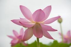 Lotus-bloesems Royalty-vrije Stock Afbeeldingen