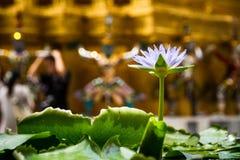 Lotus blom i morgonen royaltyfri fotografi