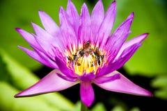 Lotus blom i morgonen Arkivbilder