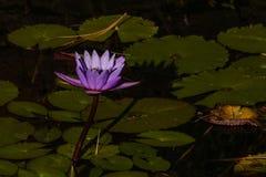 Lotus blom på en högväxt stam, en purpurfärgad blomning som stiger ut ur ett damm av liljablock, lugna fridfull bakgrund för den  arkivbild
