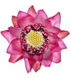 Lotus blomma Royaltyfri Bild