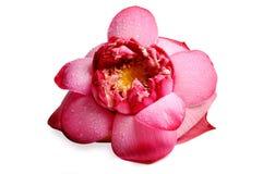 Lotus blomma arkivbild