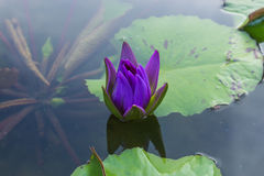 Lotus blomma Royaltyfri Fotografi