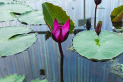 Lotus blomma Arkivfoton