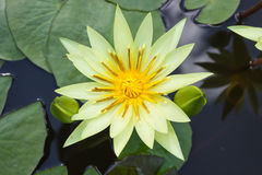 Lotus blomma Fotografering för Bildbyråer