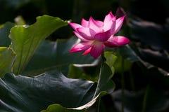 Lotus blomma Arkivfoto