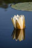 Lotus blomma Royaltyfri Foto
