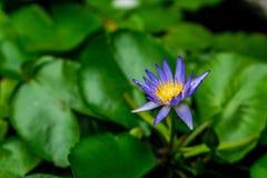 Lotus blomma, Fotografering för Bildbyråer
