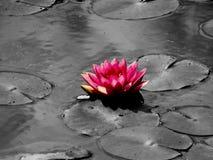 Lotus blomma, buddha eden Arkivbild