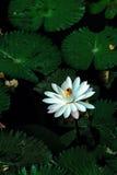 Lotus blomma eller waterlily bland gröna sidor i djupt vatten Arkivfoton
