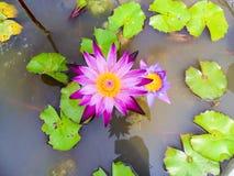 Lotus blomma för buddism arkivfoton