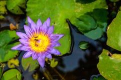 Lotus blomma, härlig lotusblommaabstrackbakgrund Royaltyfri Foto