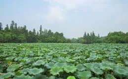 Lotus blomma i Hangzhou den västra sjön Arkivfoton