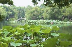 Lotus blomma i Hangzhou den västra sjön Royaltyfri Fotografi