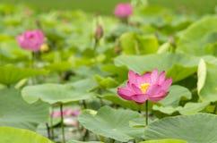 Lotus blomma i rosa färgfärg Arkivfoton