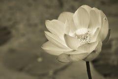 Lotus blomma i svartvitt Arkivbilder