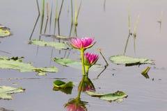 Lotus blomma i vatten Arkivbilder