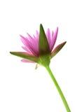 Lotus blomma, isolat Royaltyfri Bild