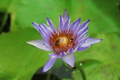 Lotus blomma lotusblomma Arkivbild